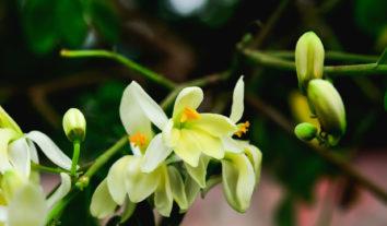 Conheça os benefícios da moringa, a planta que é um superalimento